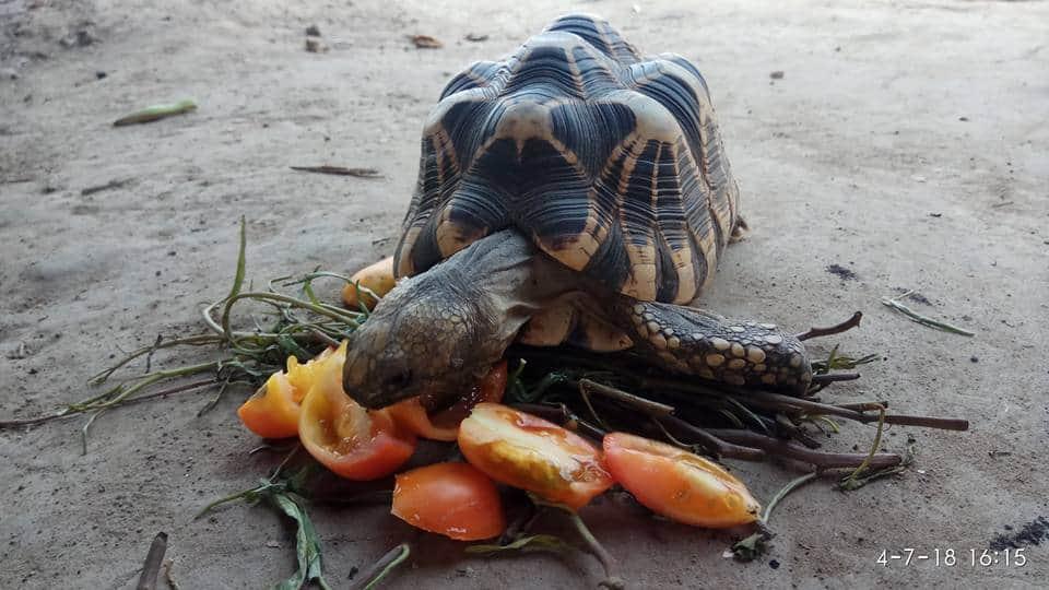 Star Tortoise Myanmar