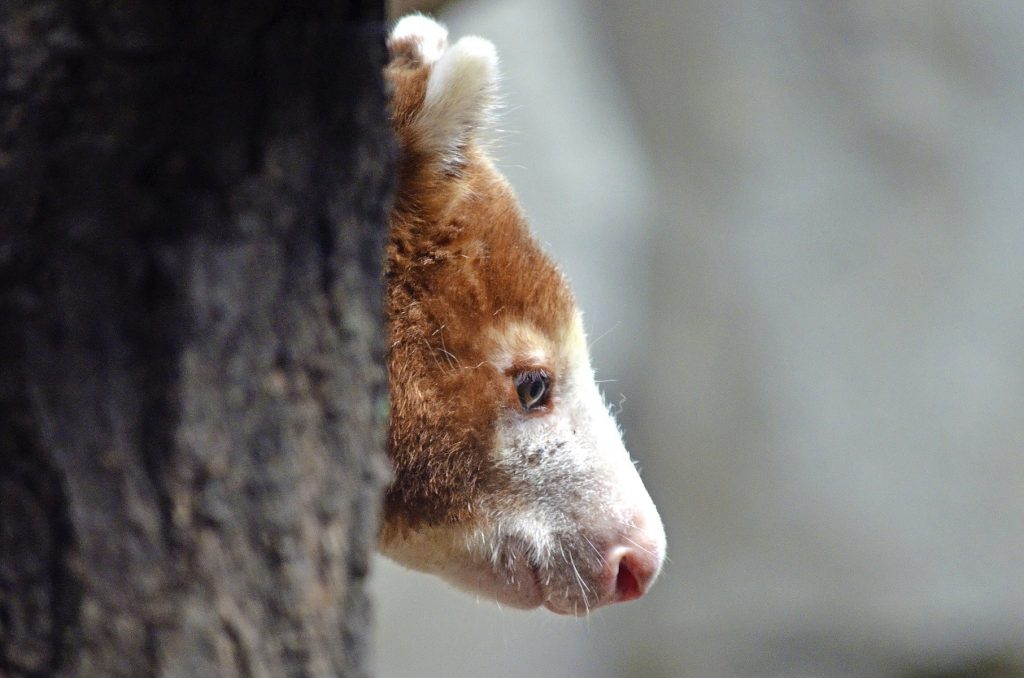 Indonesia Tree Kangaroo